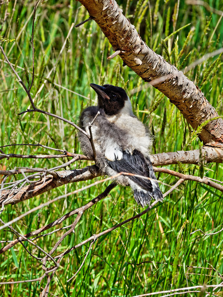 Baby-magpie-3.jpeg