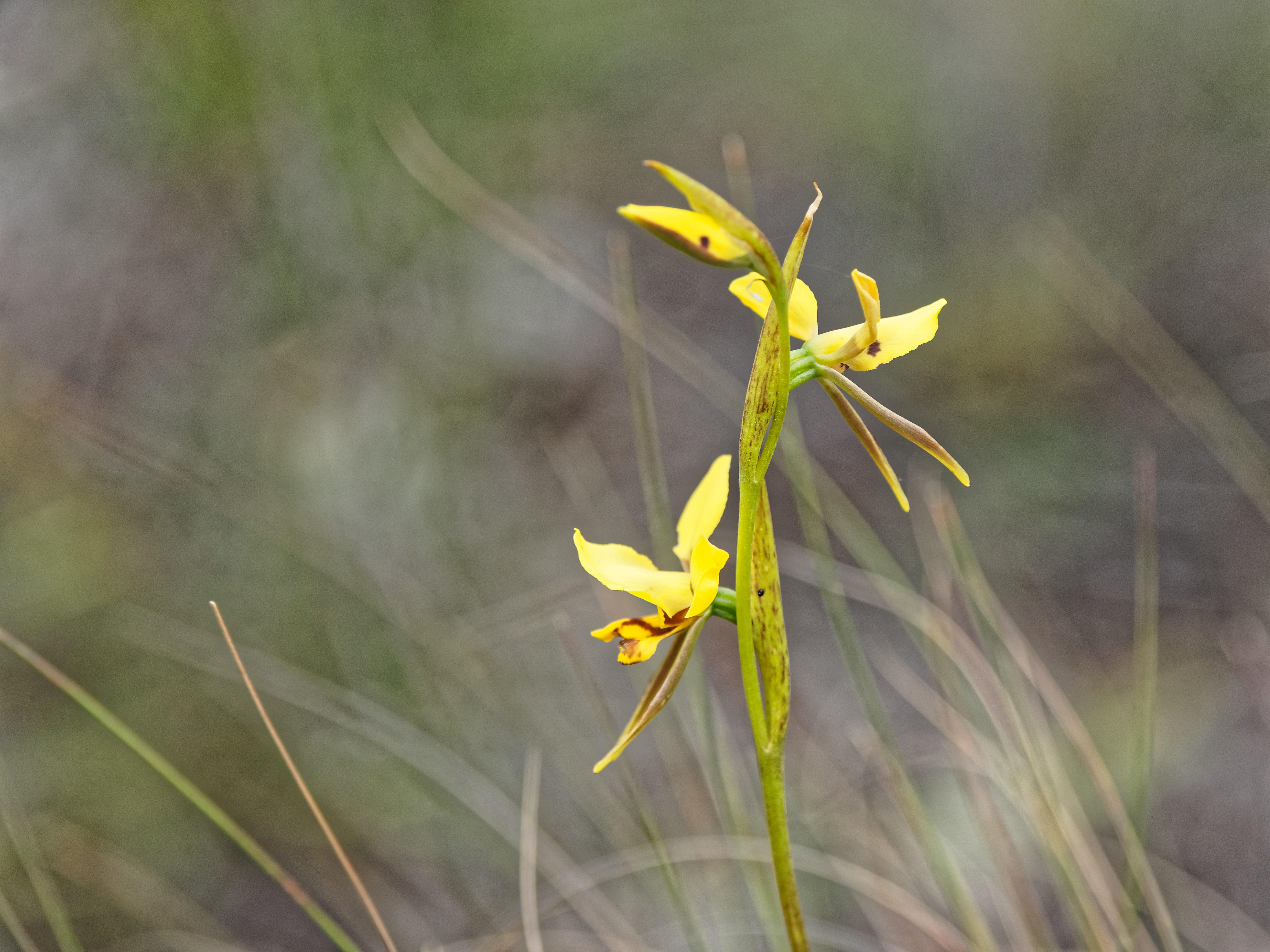 This should be Diuris-sulphurea-2.jpeg.  Is it missing?