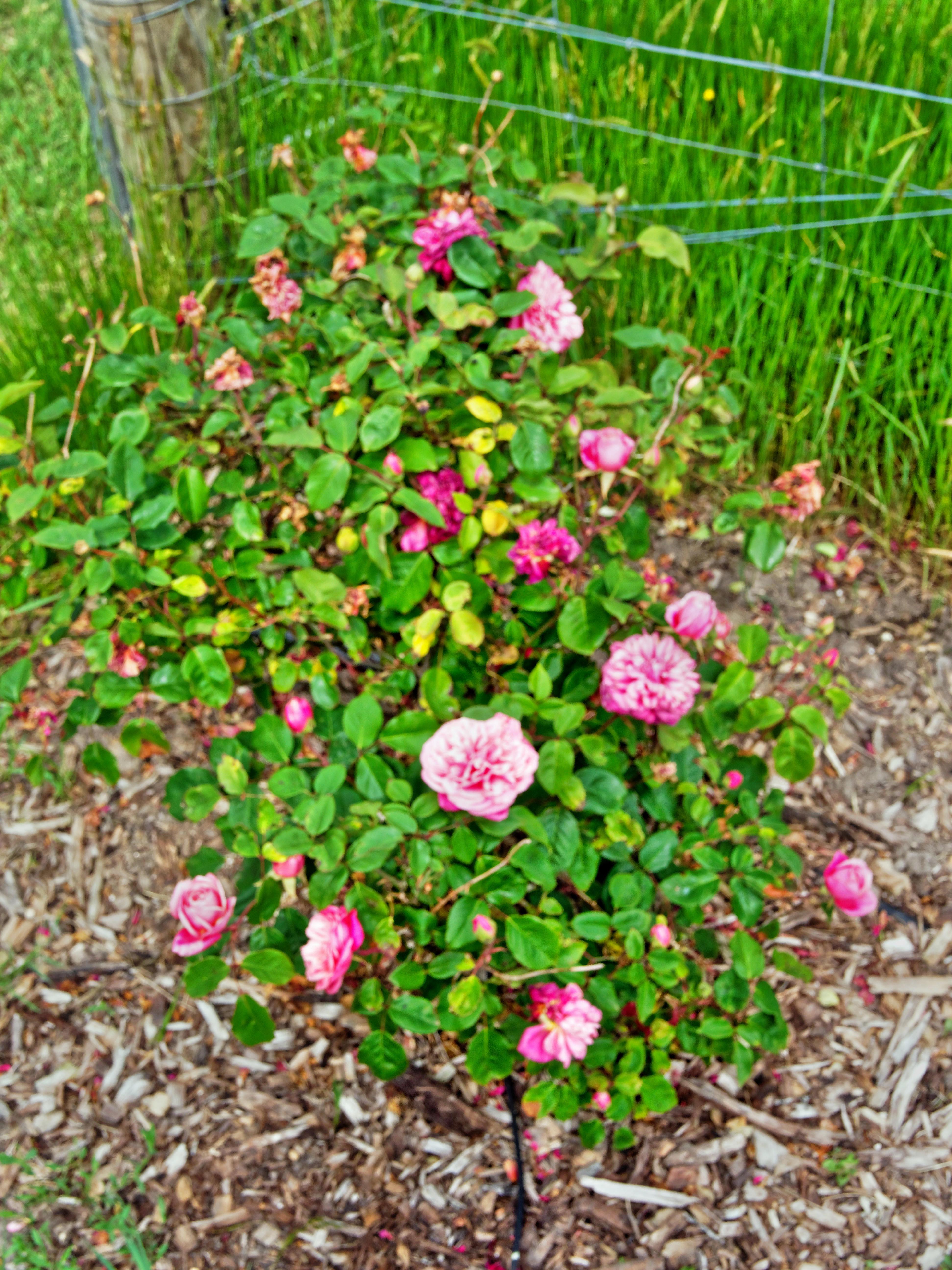 Rose-5.jpeg