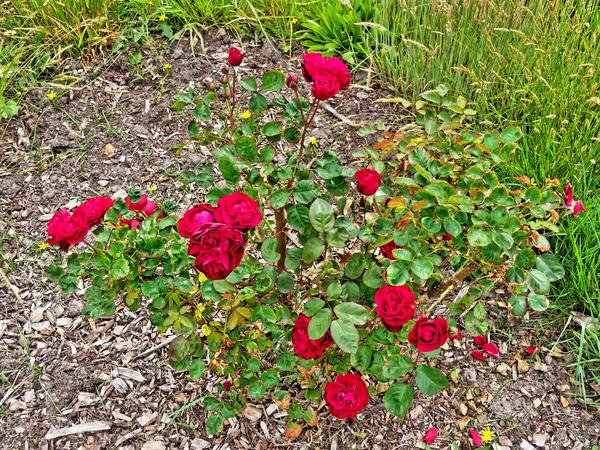Rose-9.jpeg
