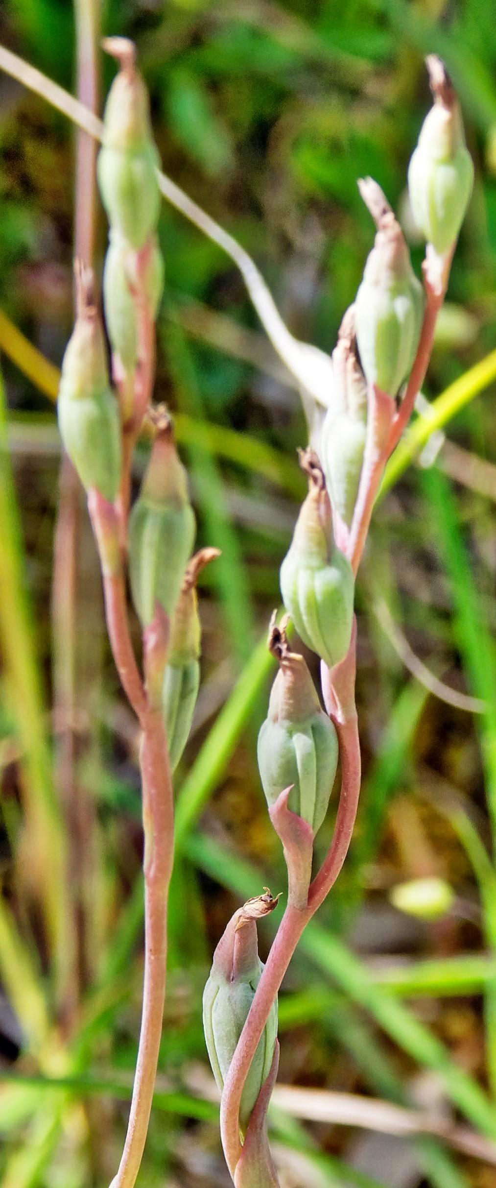 Thelymitra-pauciflora-1-detail.jpeg