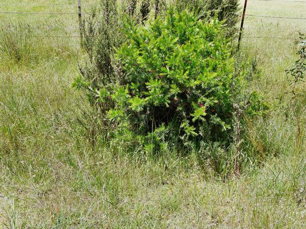 Thelymitra-pauciflora-4.jpeg
