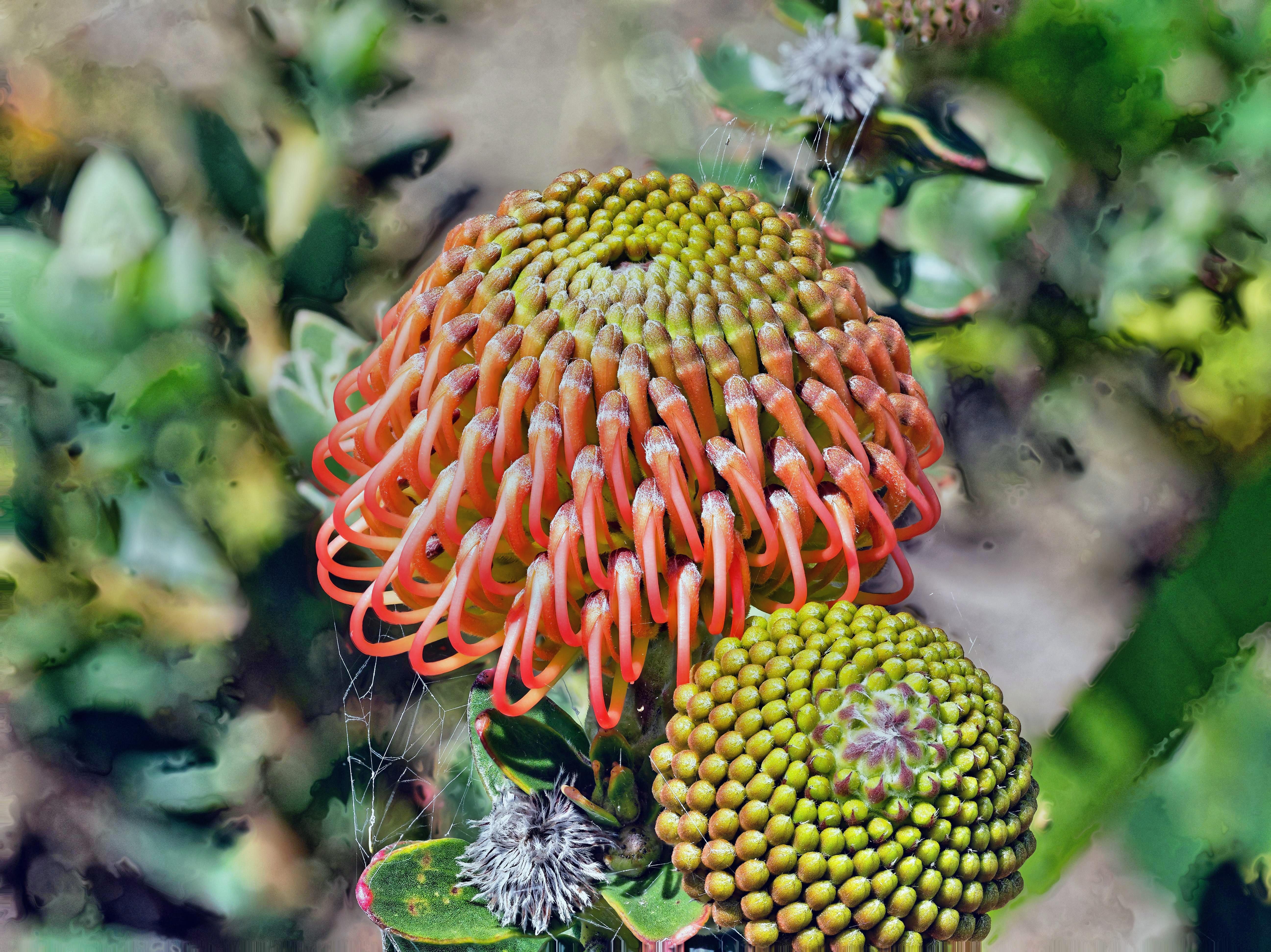 Leucospermum-cordifolium-3.-DMap.jpeg