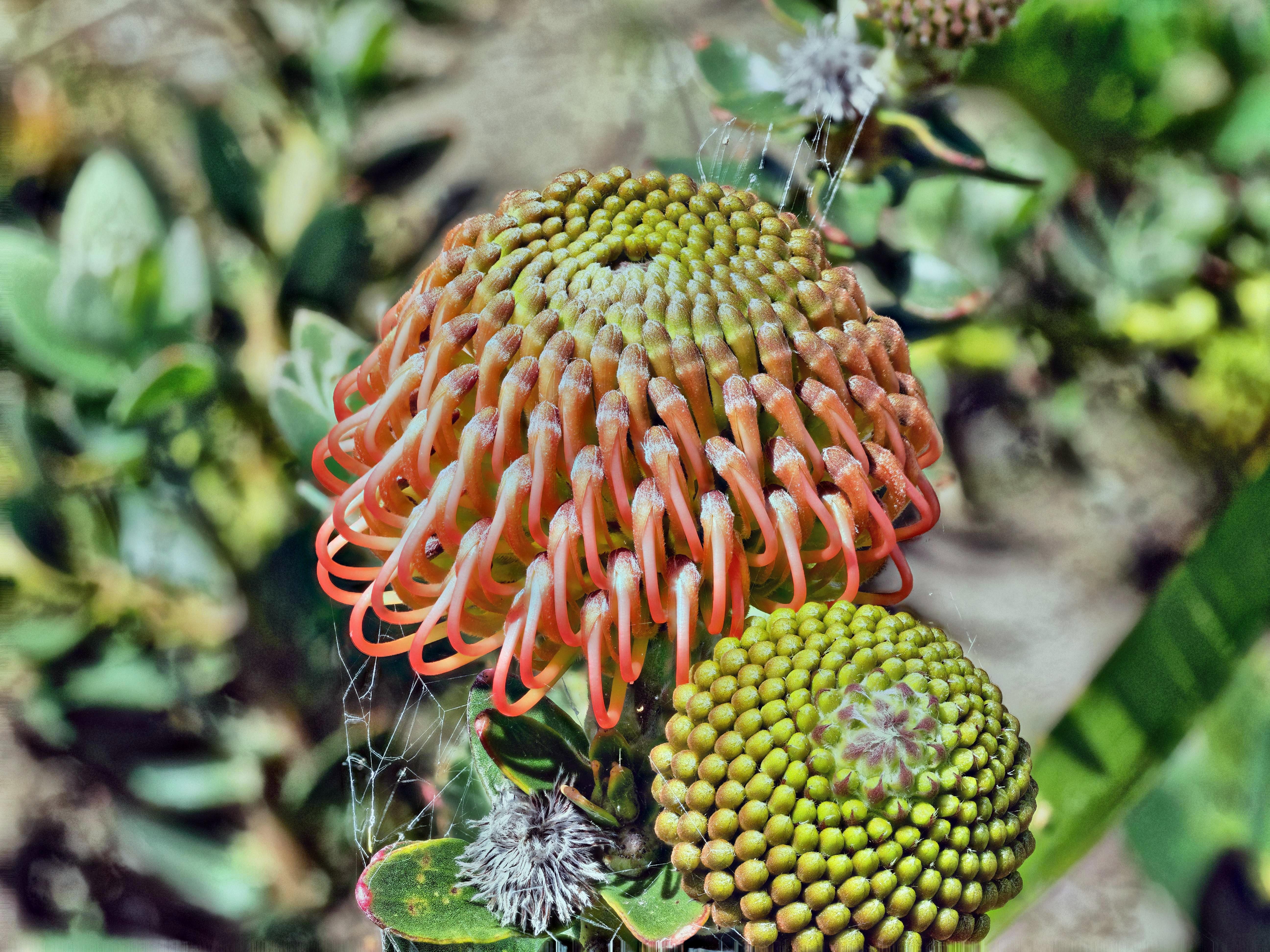 Leucospermum-cordifolium-3.-PMax.jpeg