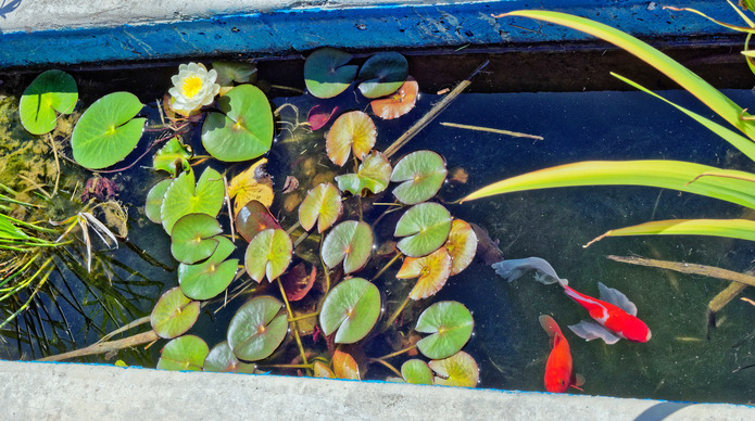 Fish-waterlily-1.jpeg