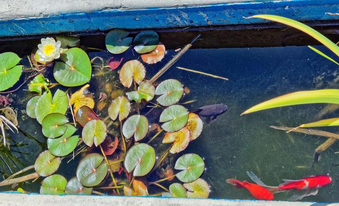 Fish-waterlily-2.jpeg