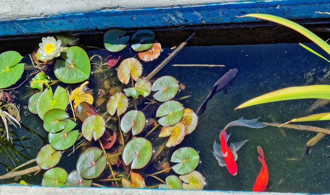 Fish-waterlily-3.jpeg