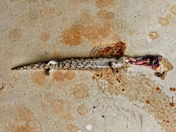Dead-lizard-1.jpeg