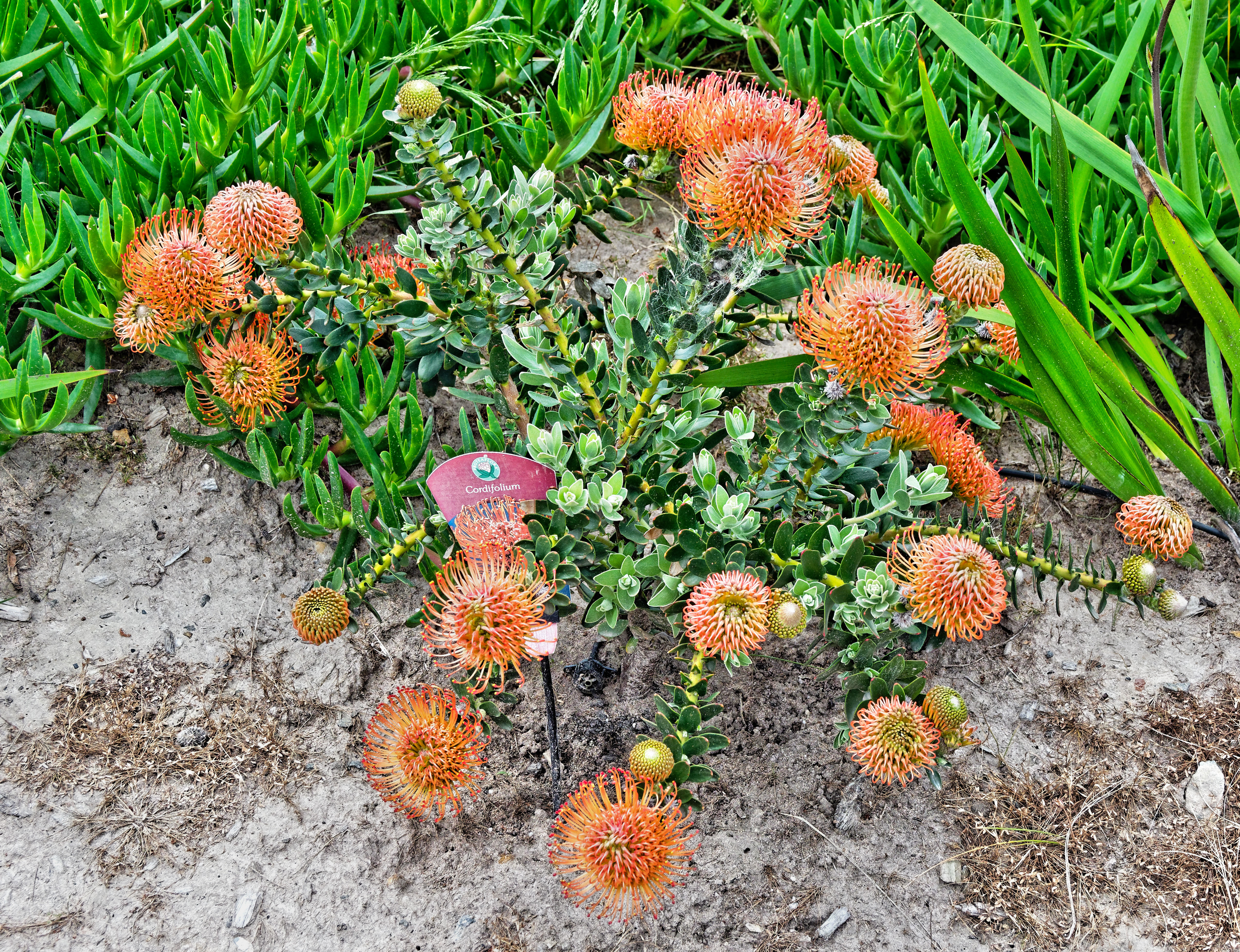 This should be Leucospermum-cordifolium.jpeg.  Is it missing?