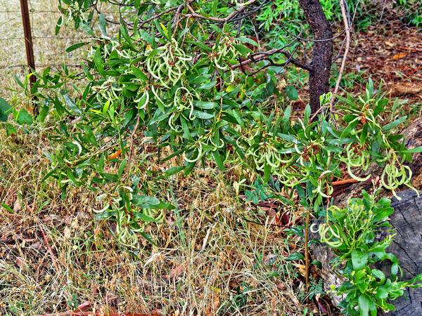 Acacia-pods.jpeg