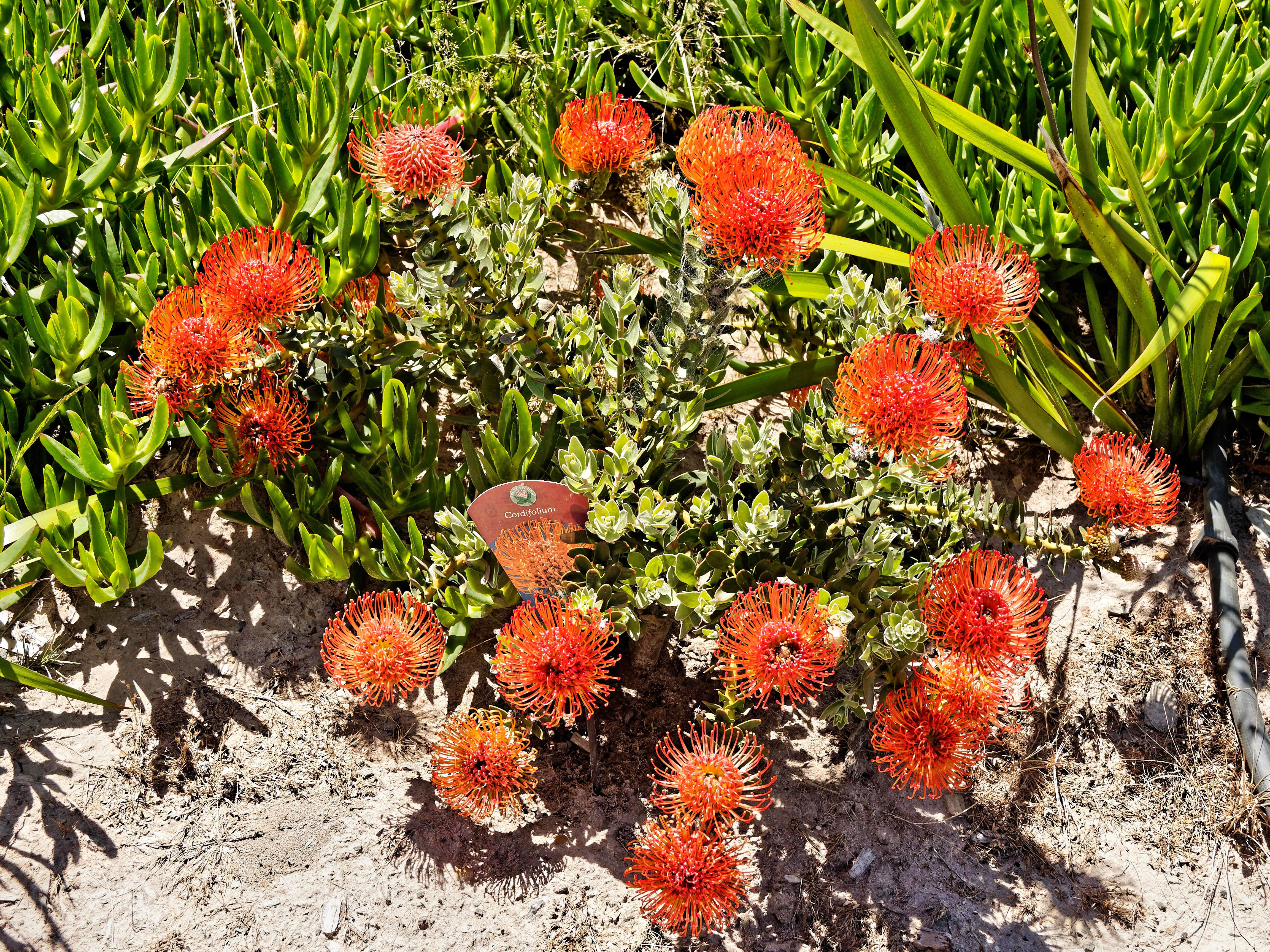Leucospermum-cordifolium-2.jpeg