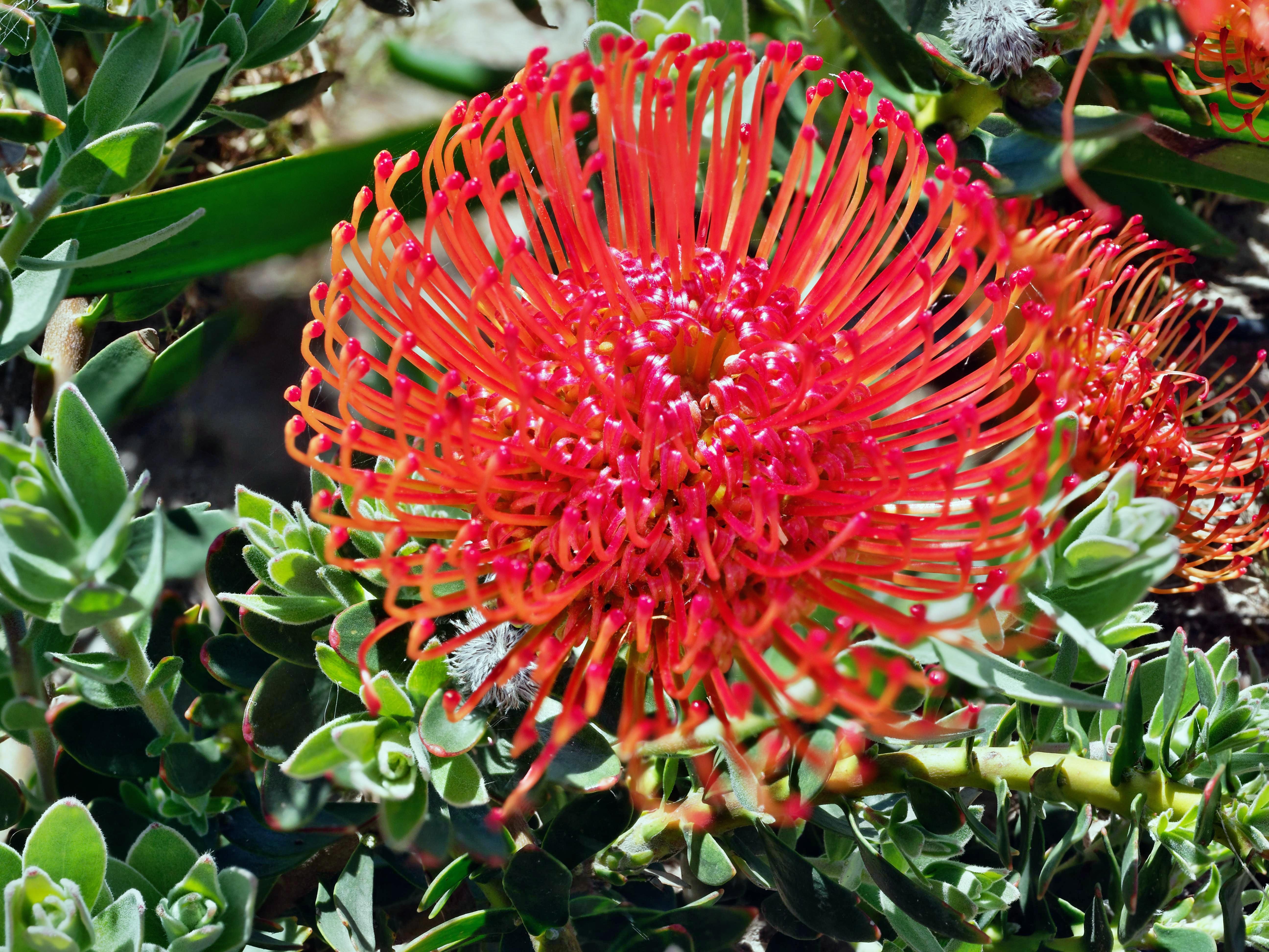 Leucospermum-cordifolium-3.jpeg