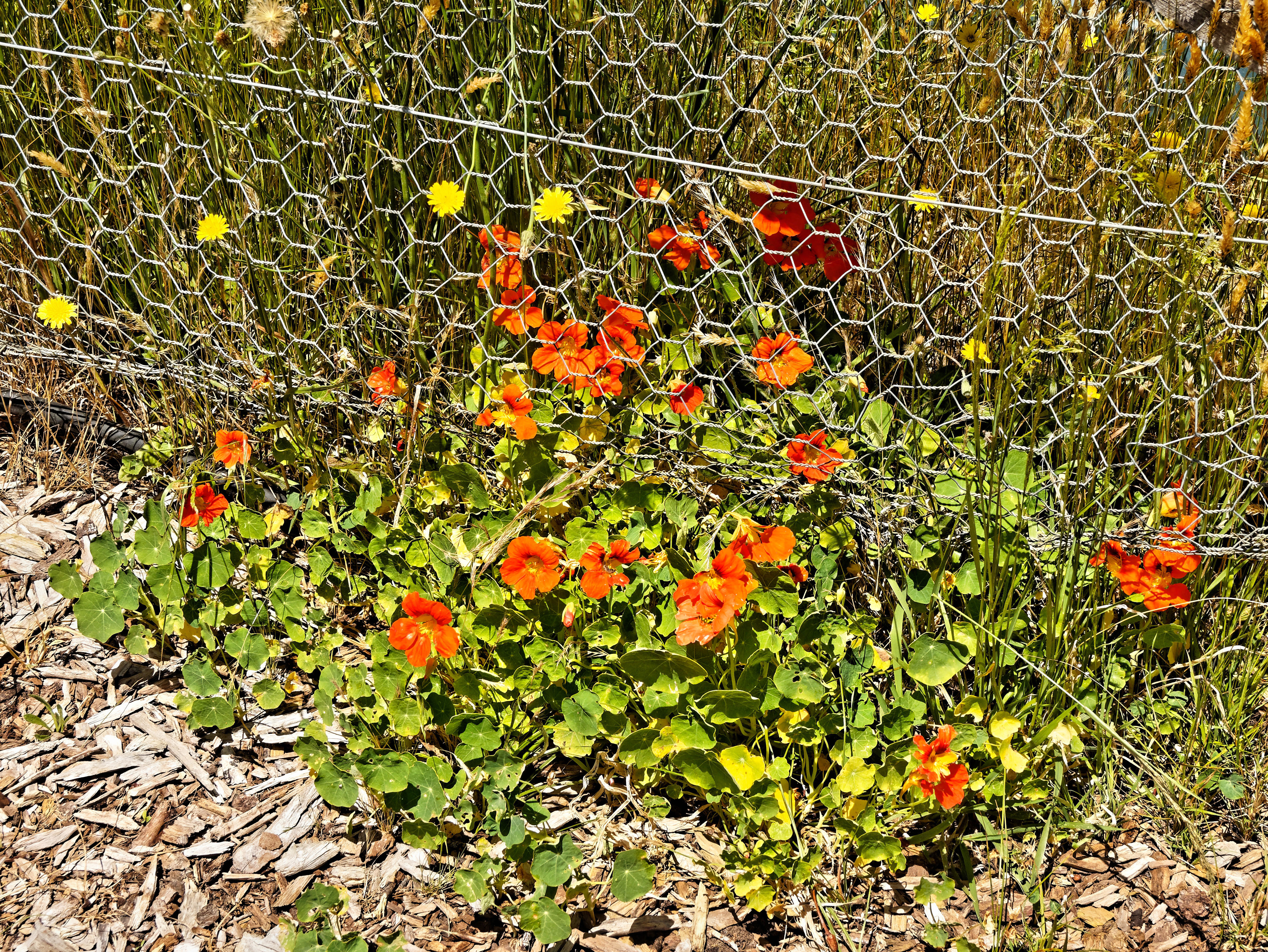 This should be Tropaeolum.jpeg.  Is it missing?