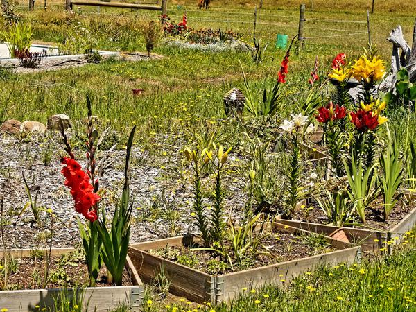 Gladiolus-lily.jpeg
