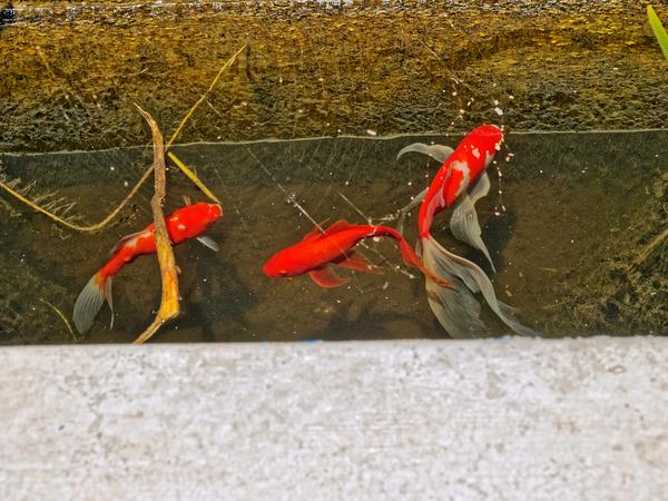 Goldfish-2.jpeg