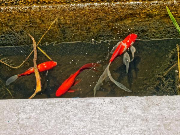 Goldfish-3.jpeg