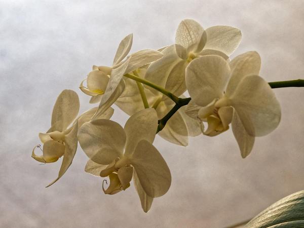 Phalaenopsis.jpeg