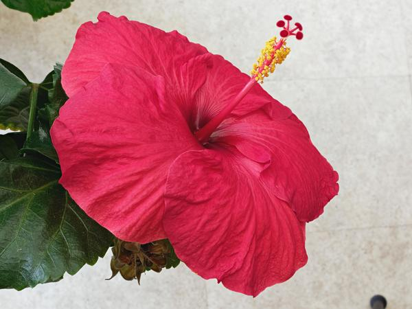 Hibiscus-1-PMax.jpeg