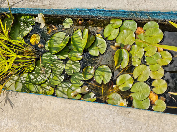 Waterlily.jpeg