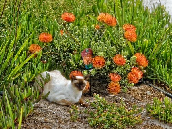 Piccola-Leucospermum-2.jpeg