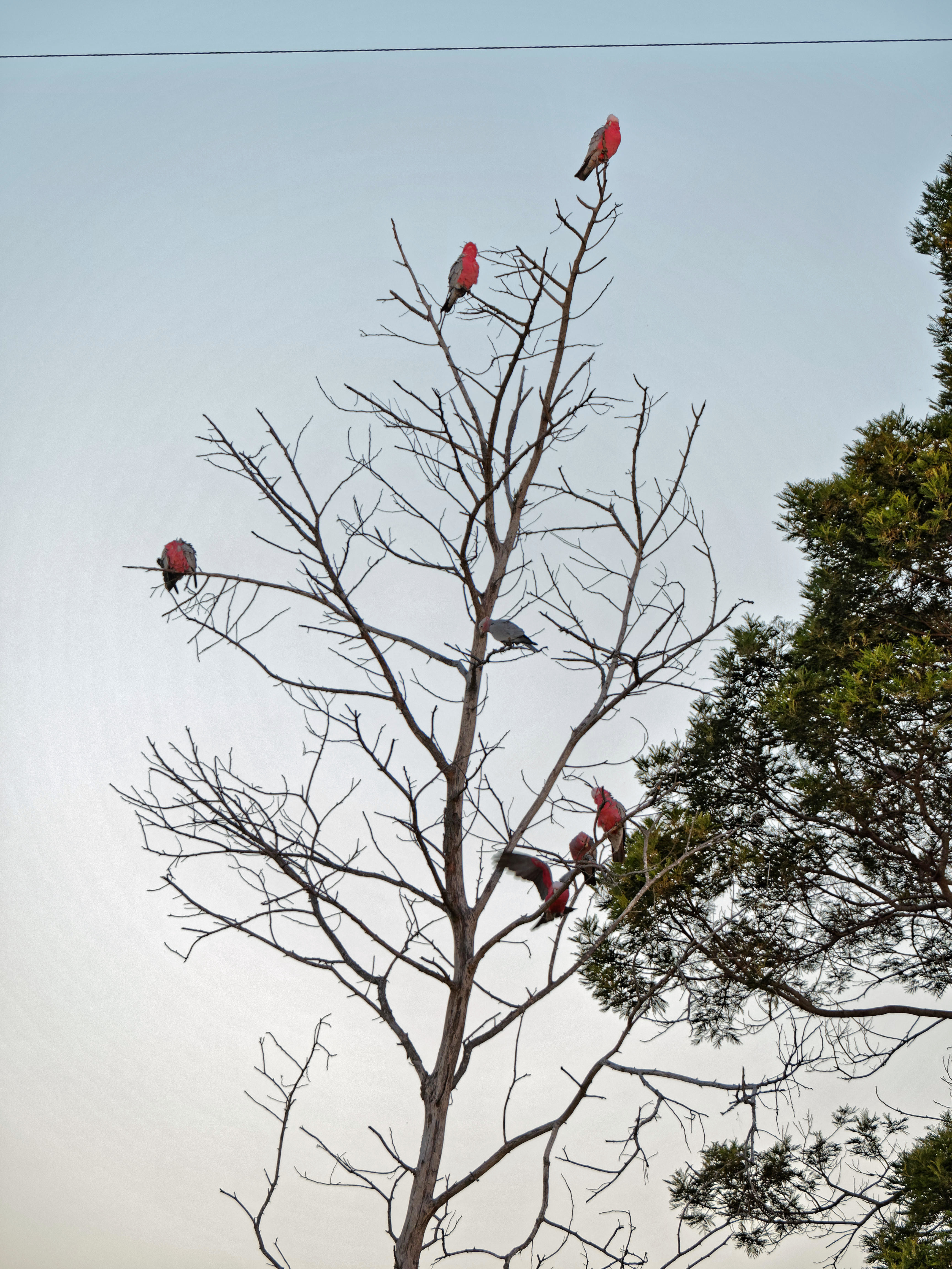 This should be Galahs-16.jpeg.  Is it missing?