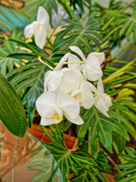 Phalaenopsis-1.jpeg