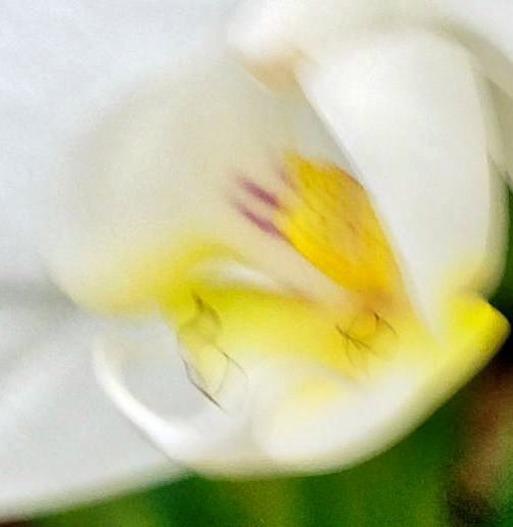 Phalaenopsis-2-detail.jpeg
