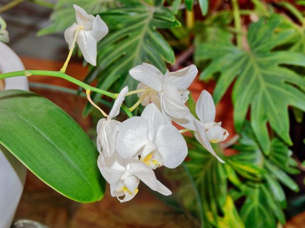 Phalaenopsis-3.jpeg