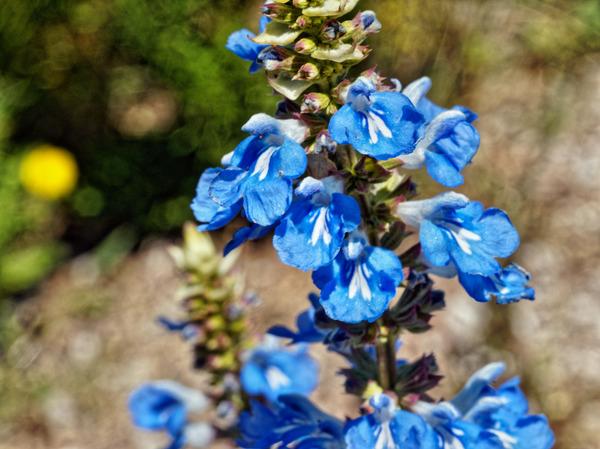 Salvia-6.jpeg