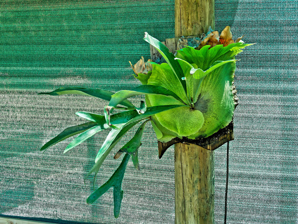 Staghorn-fern.jpeg
