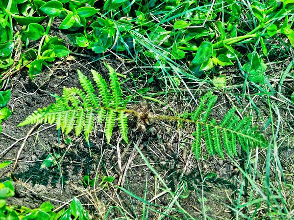 Tree-fern-3.jpeg