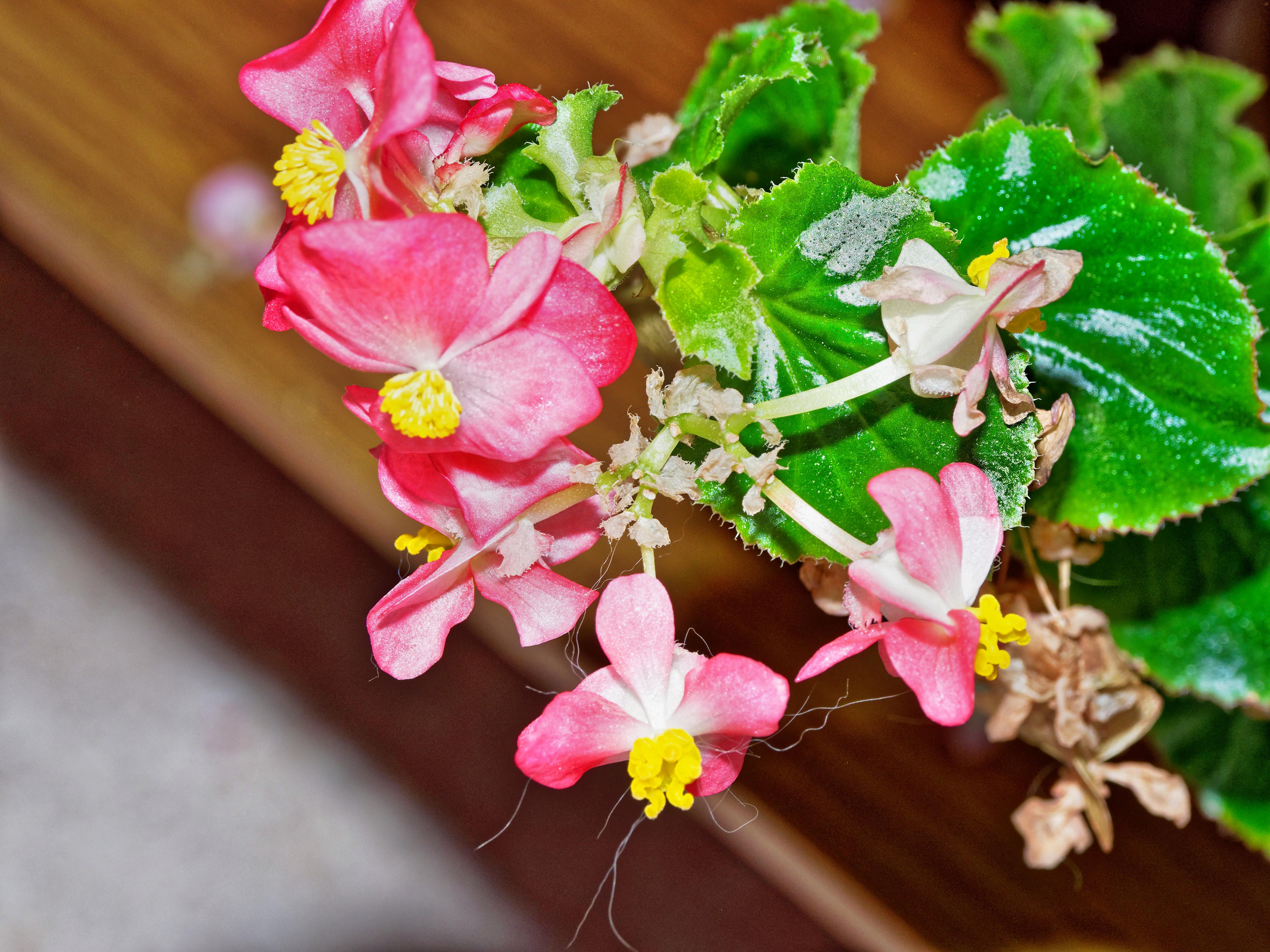 Begonia.jpeg