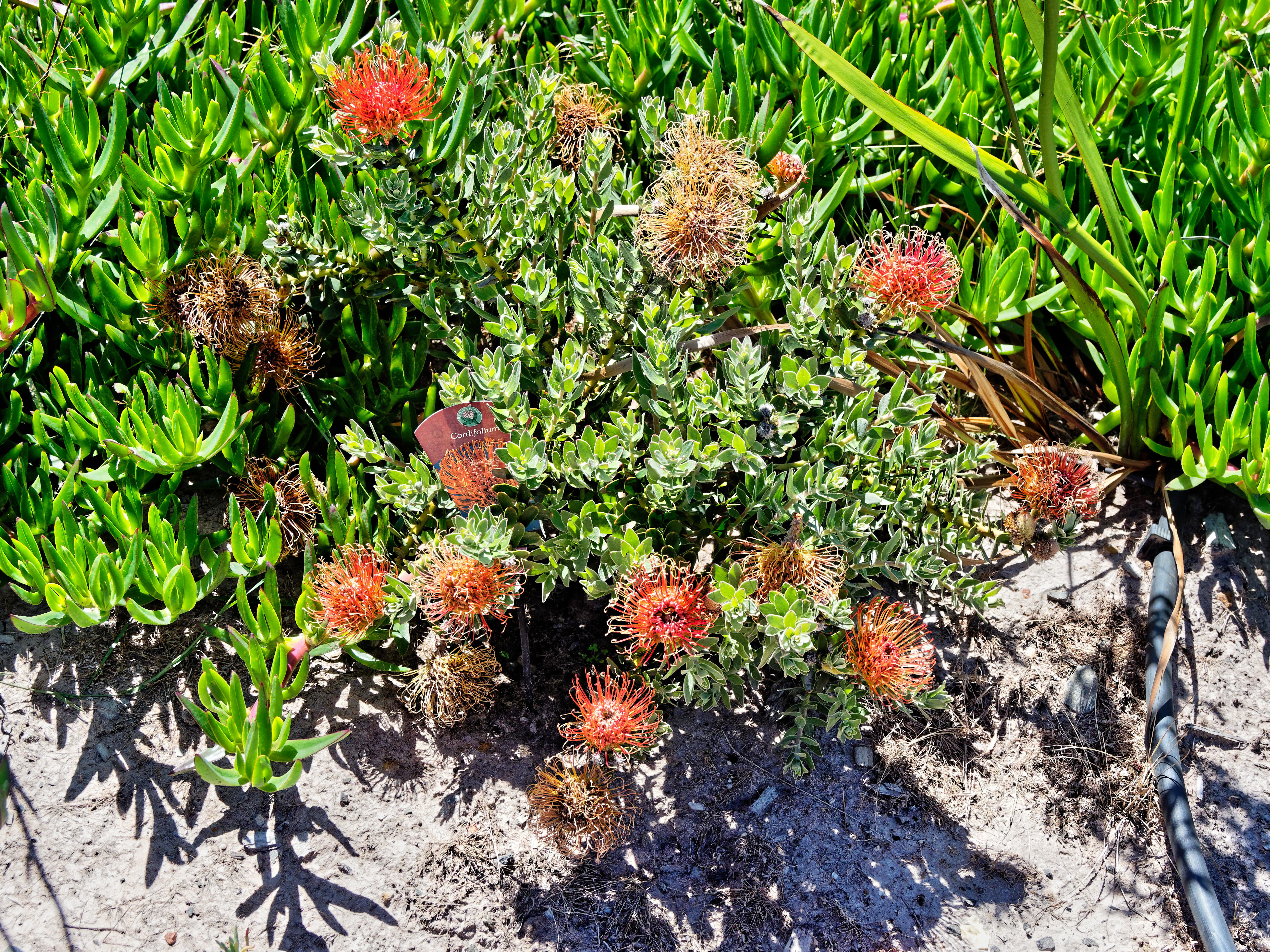 This should be Leucospermum.jpeg.  Is it missing?