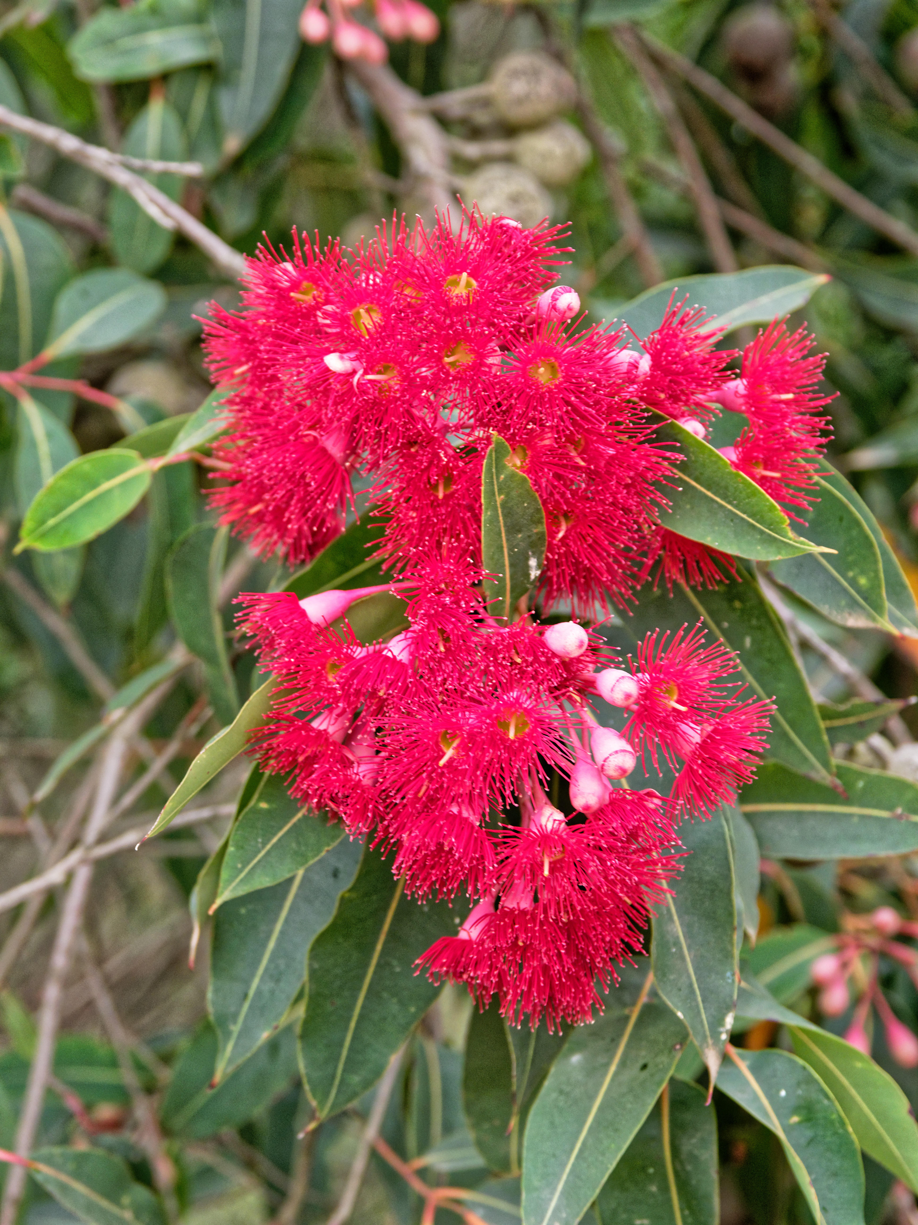 Red-flowering-gum-3.jpeg