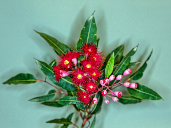 Red-flowering-gum-10.jpeg