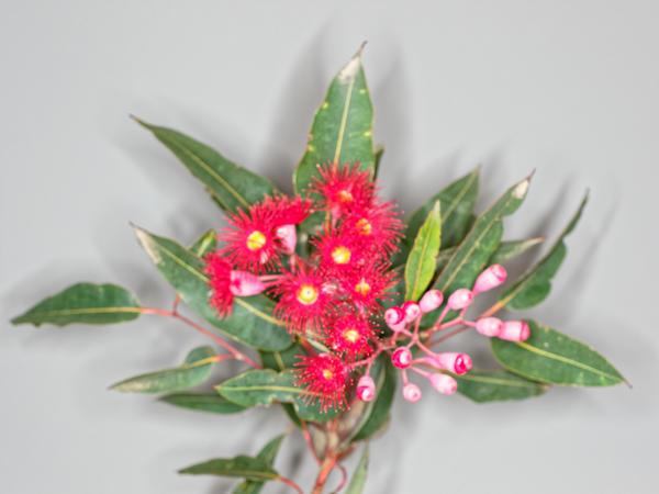 Red-flowering-gum-12.jpeg