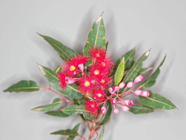 Red-flowering-gum-13.jpeg