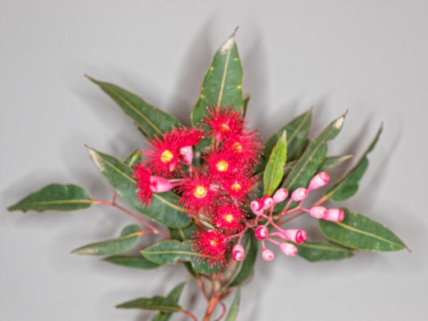 Red-flowering-gum-14.jpeg
