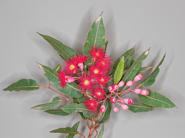 Red-flowering-gum-15-DMap.jpeg