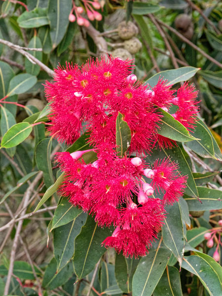 Red-flowering-gum-4.jpeg