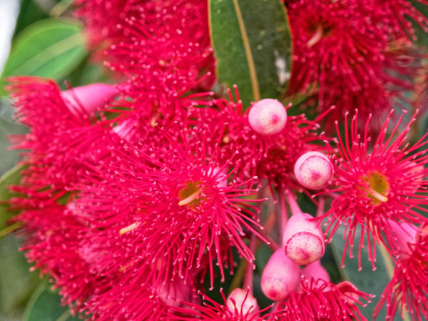 Red-flowering-gum-5.jpeg
