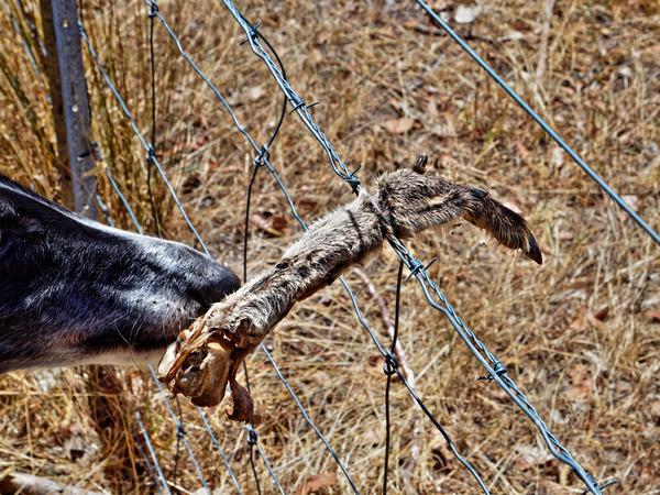 Kangaroo-paw-5.jpeg