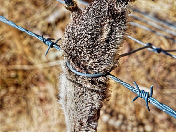 Kangaroo-paw-6.jpeg