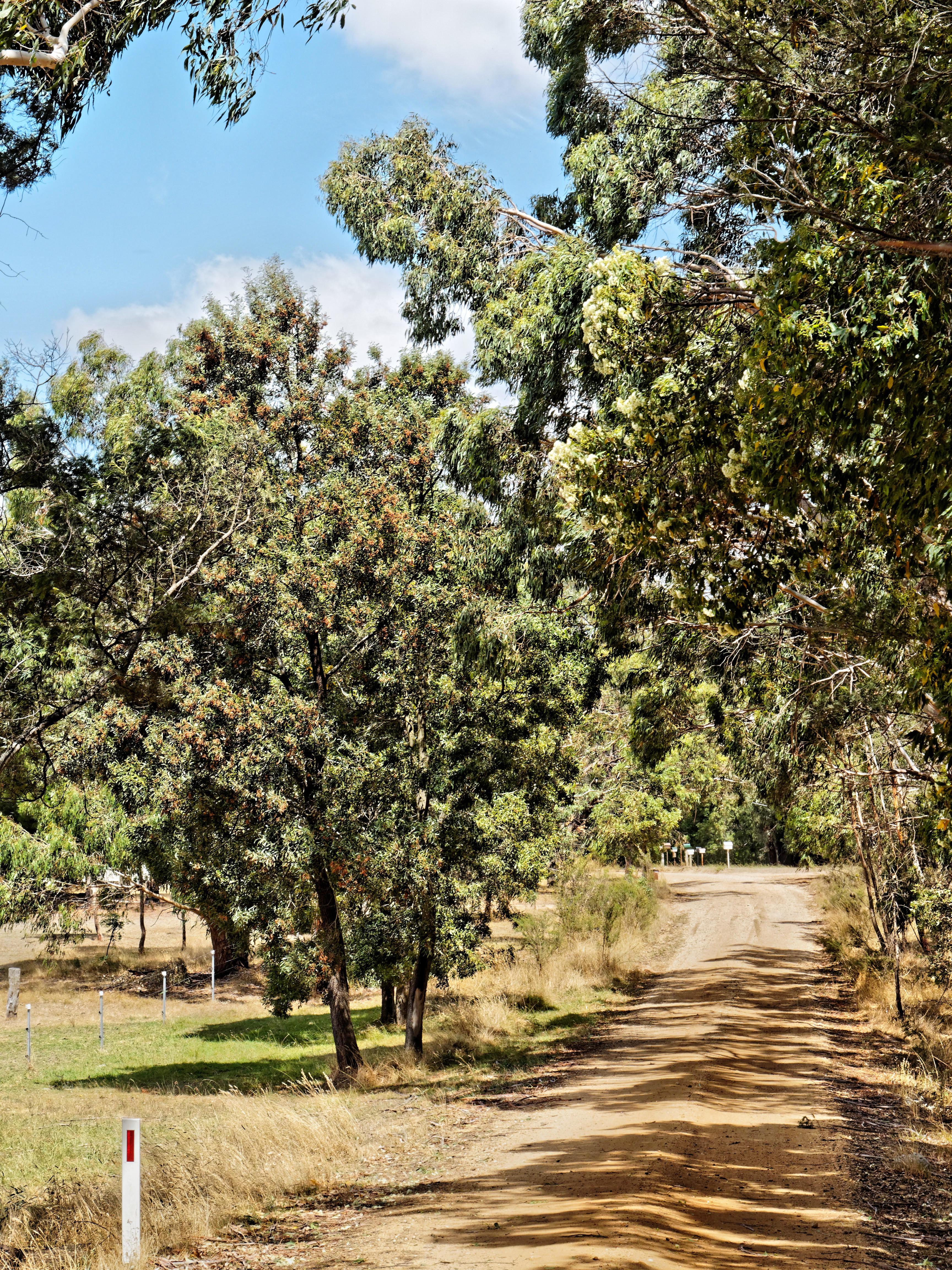 Acacia-eucalypt.jpeg