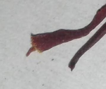 Fake-saffron-2-detail-2.jpeg