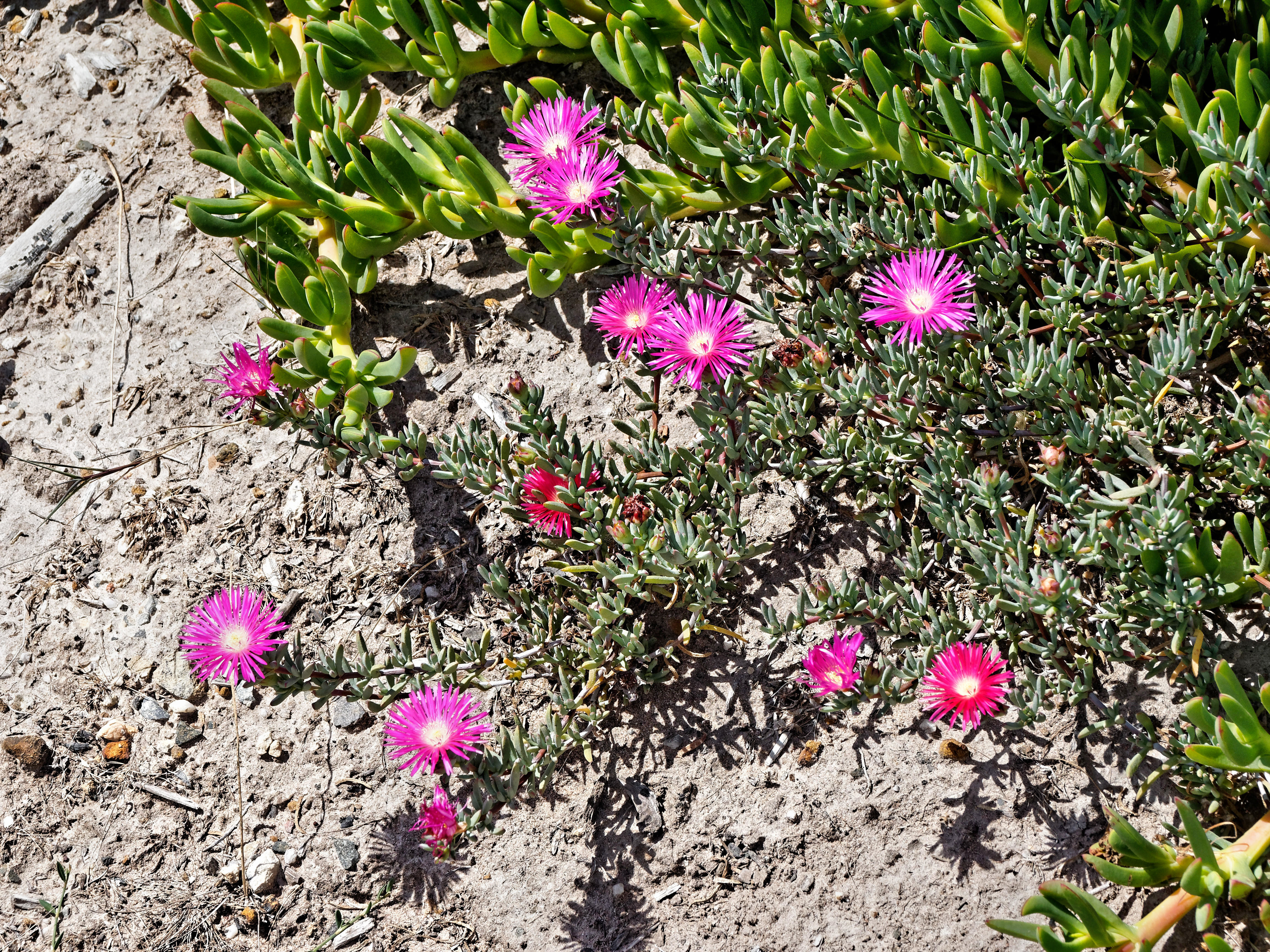 Carpobrotus.jpeg