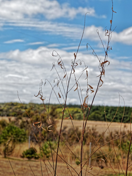 Salix-babylonica-1.jpeg