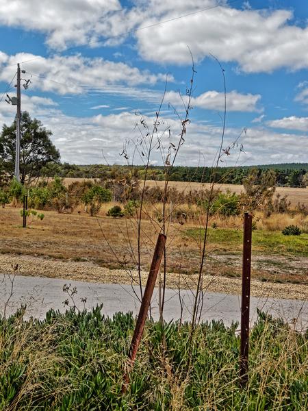 Salix-babylonica-2.jpeg