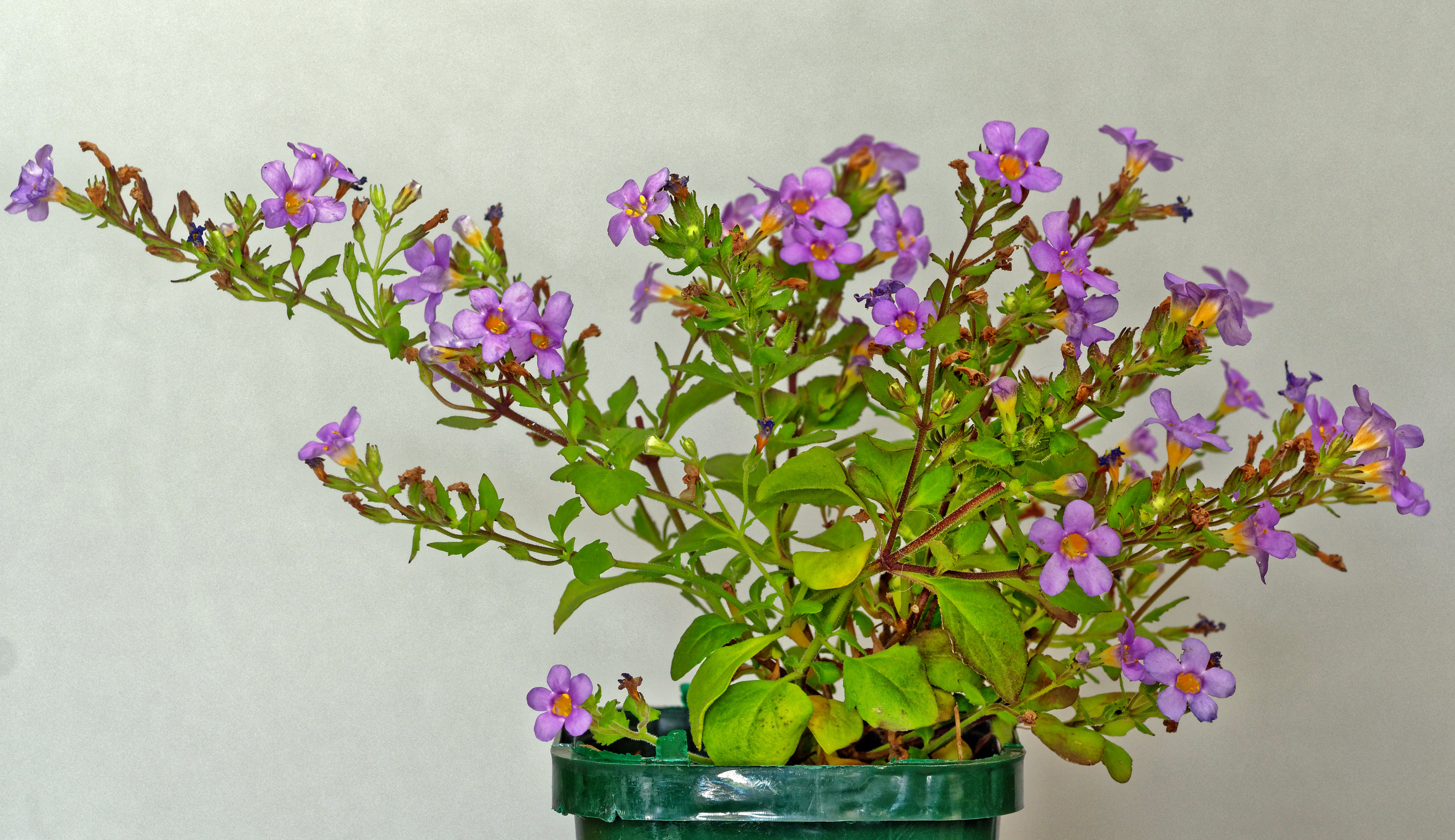 Chaenostoma-cordatum-3.jpeg