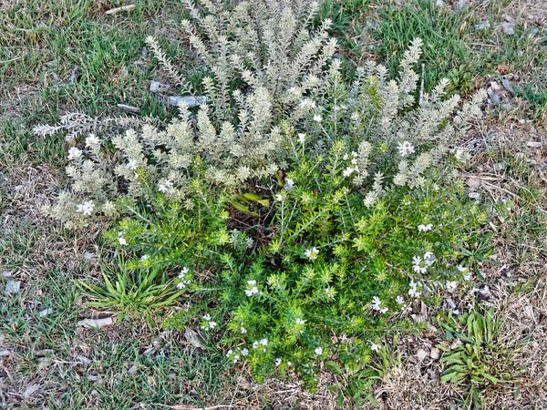 Westringia-fruticosa-1.jpeg